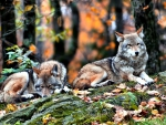 Autumn Wolves F1