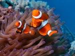 Clown Fish f1