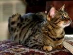 Tabby Cat F