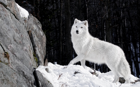 white wolf - beautiful, white, wolves, animals