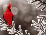 cardinal-red-branch-bird-