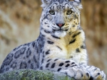 Cute snow leopard