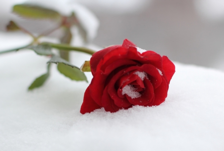 Rose in snow photography abstract background - Rose in snow wallpaper ...