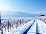 Vinyard in Winter