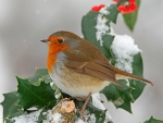 European Robin on Holly