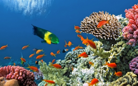 Colorful Fish and Corals - Fish, Coral Reefs, Sealife, Oceans, Colorful, Underwater, Nature