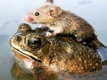 Mouse on a toad