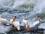 Pelicans in boiling water