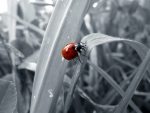 B&W Ladybug