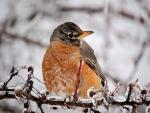 Robin on Snowy Winter Branch