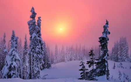 Winter Glow - pine, snow, dusk, sunset, white, trees, pink, Winter