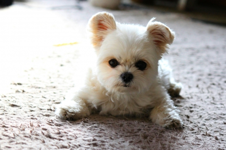 ADORABLE BUDDY - pet, white, puppy, dog