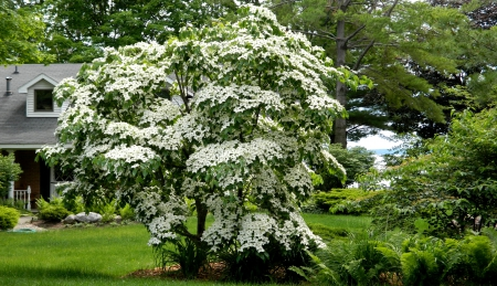 Dogwood Tree in Bloom F - photo, dogwood, photography, flower, flowering tree, wide screen, beauty, floral