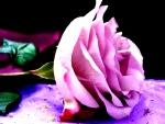 Stunning Pink Rose