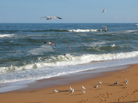 Seagulls on Beach Shoreline - Beaches, Seagulls, Ocean Waves, Nature, Birds