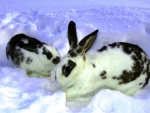 Zebra Bunnies in the Snow