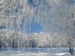 Snow-Covered Willow Trees