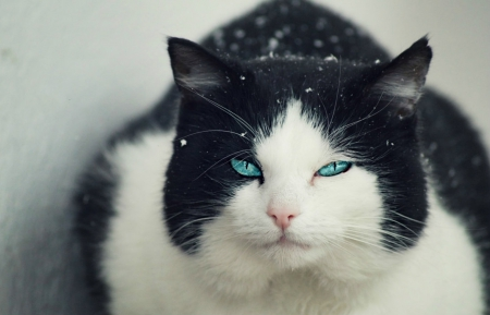 Cat - tuxedo, beautiful, cat, eyes, huge
