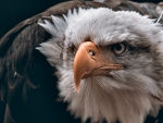 Bald Eagle Fierce Stare F