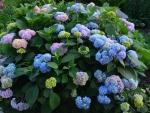 Blue & purple hydrangea