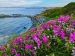 Beach Pea Flowers, Vancouver Island
