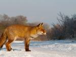 Golden fox in the snow