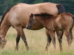HORSES MOTHER AND FOAL