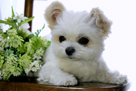 FLUFFY PUPPY - pet, adorable, fluffy, puppy