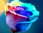 Colorful rose