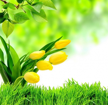 Yellow Tulips - with love, Lovely, colors, beautiful, still life, yellow tulips, photography, flowers, nature, green grass, green leaves