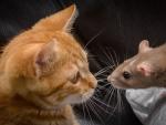 Red cat and  rat
