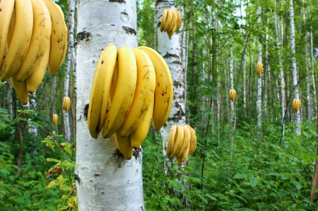New Kind of Banana Trees ! - birches, forest, trees, bananas