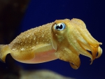 Cute baby cuttlefish