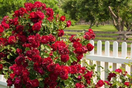 red roses fence - fence, garden, red roses, nature