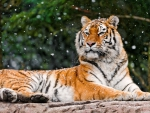 beautiful tigress