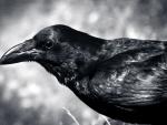 Crow close-up