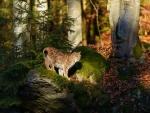 'Lynx'.....