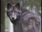 black-timber-wolf