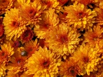 Orange Crysanthemums