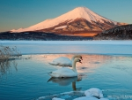 Swans in Frozen Lake at Mount Fuji