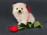 Puppy for Valentine