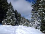 ~Snowy firs~