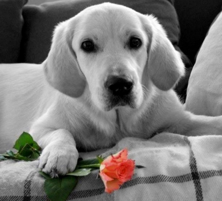 In anticipation of his love - cute, red, rose, dog