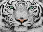 Beautiful Face of White Tiger
