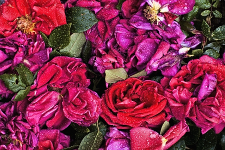 *Wet roses* - red, wet, purple, background, flowers, roses, high quality