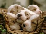 Sleepy cute puppies :)