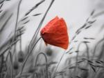 *A single poppy*
