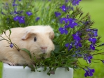 *Guinea pig in the flower pot*