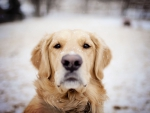 Snowy retriever