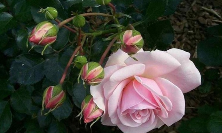 Pink Rose With Buds - rose, flowers, nature, buds, pink